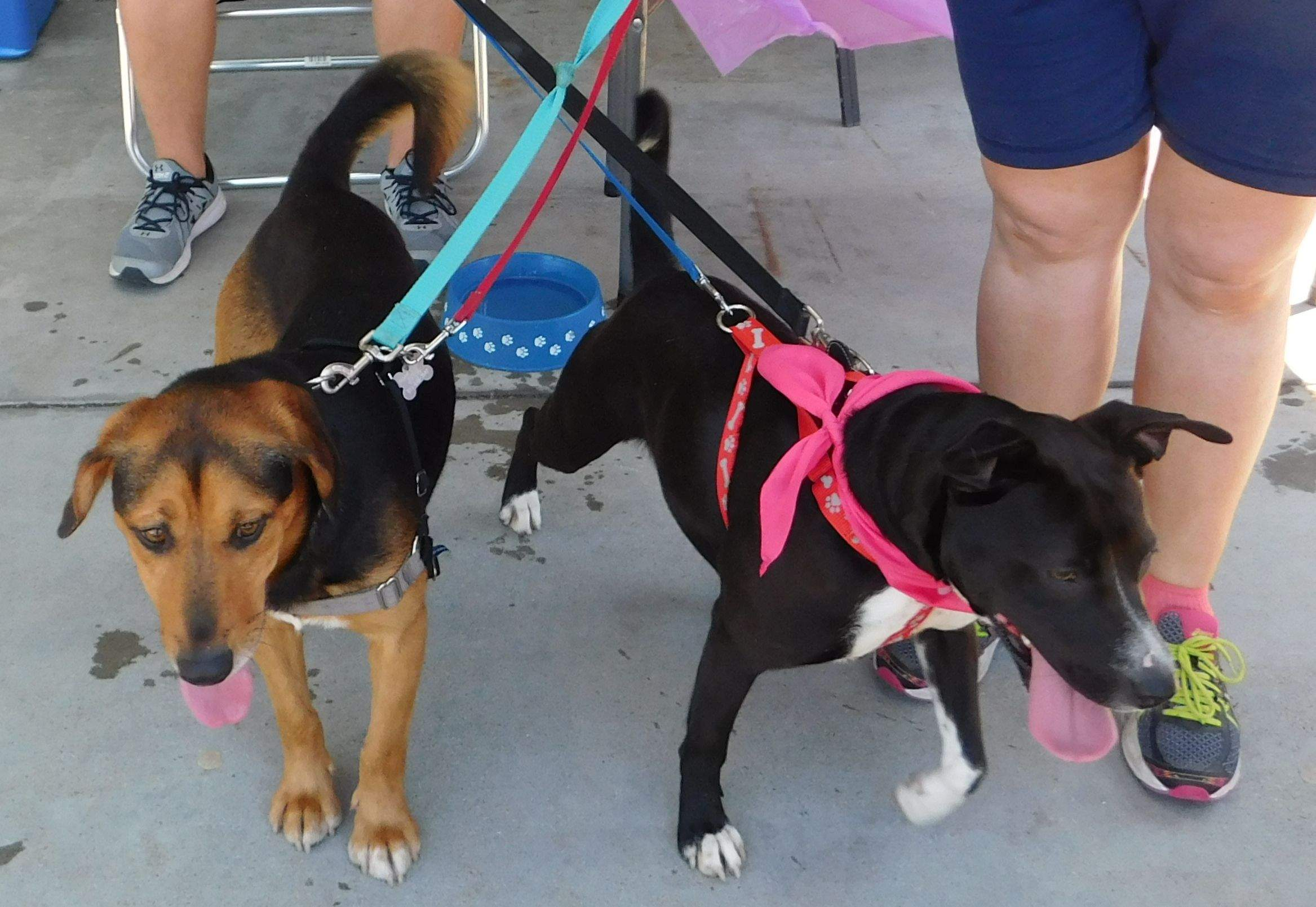Rusty, left, a beagle/basset mix about 2 years old; and Bella, an 8-month-old lab mix, were on hand for the 'Step Up for Fur-Babies' event hosted by Shoe Sensation in Du Quoin Saturday. The pair are two of about 23 dogs and 20 kittens available for adoption at the Perry County Humane Society.