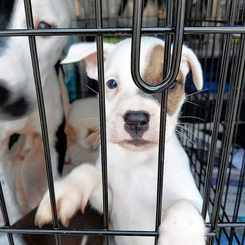 This guy and about 55 of his friends were picked up from high-kill shelters in the Houston area to make room for pets displaced by Hurricane Harvey in hopes they may be reunited with their owners.  After vetting they will be available for adoption.