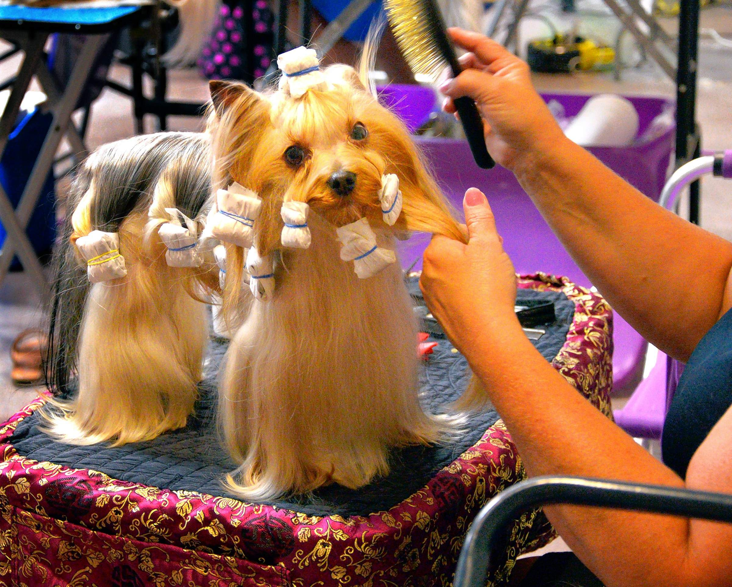 """A little Yorkshire terrier, Bentley, gets """"wraps"""" on his coat after his turn in the show ring. His groomer, Anna Stringer of Bowling Green, Kentucky, says Bentley gets wrapped every day, to protect his hair. She said Bentley is owned by a friend who lives in Canada."""