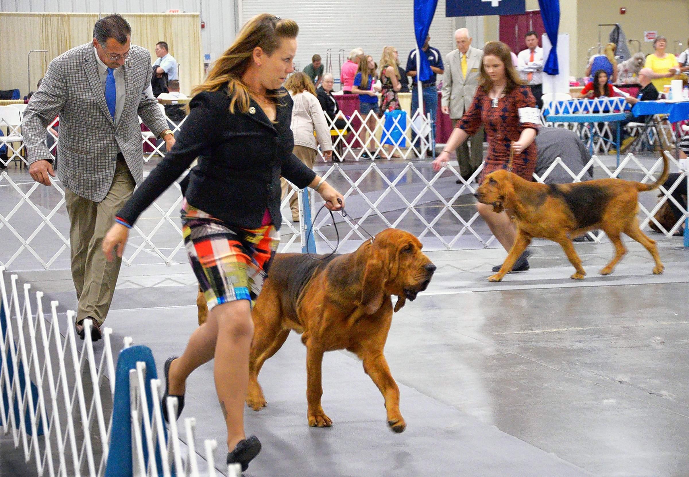 Trainer Danielle Frykman of Beach Park, Illinois, runs a bloodhound named Santana around a show ring. Santana lives in North Carolina.