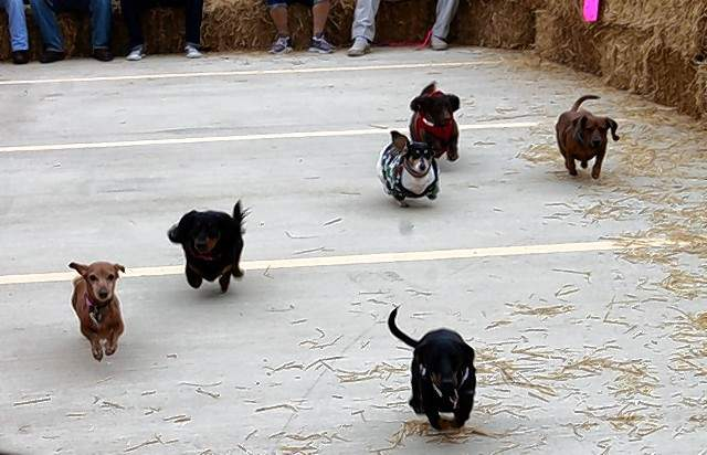 And they're off! The dogs take to the track for the first Dachshund Derby during the Jaycees' Oktoberfest.