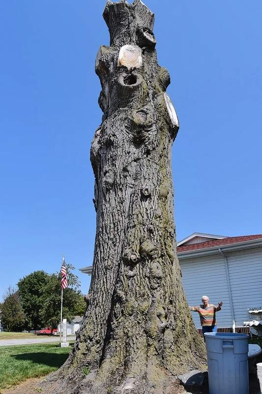 The size of the remnant trunk of Tony Cox's state champion pin oak may be seen compared to the size of Cox's mother, Betty Cox, who is standing on the other side of the tree.