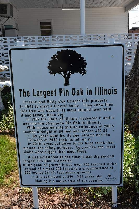 A sign details the history of Tony Cox's state champion pin oak next to the base of the tree.