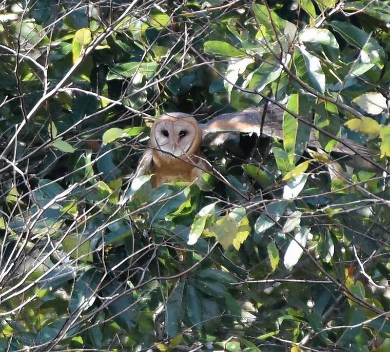 A newly rereleased barn owl comes to rest in a tree at Sahara Woods Tuesday morning.