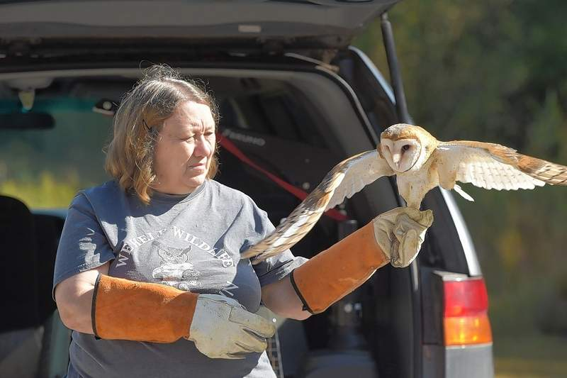 Beverly Shofstall of Free Again Wildlife Rehabilitation prepares to release one of five barn owls back to Sahara Woods Tuesday.