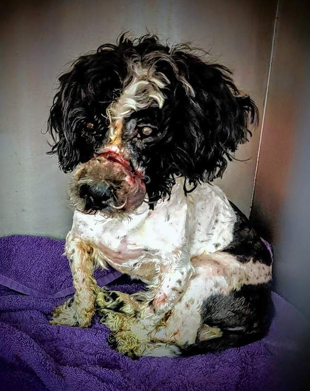 Wyatt is recovering from multiple surgeries at Murphysboro's St. Francis Community Animal Rescue & Education to treat injuries to his face and mouth.