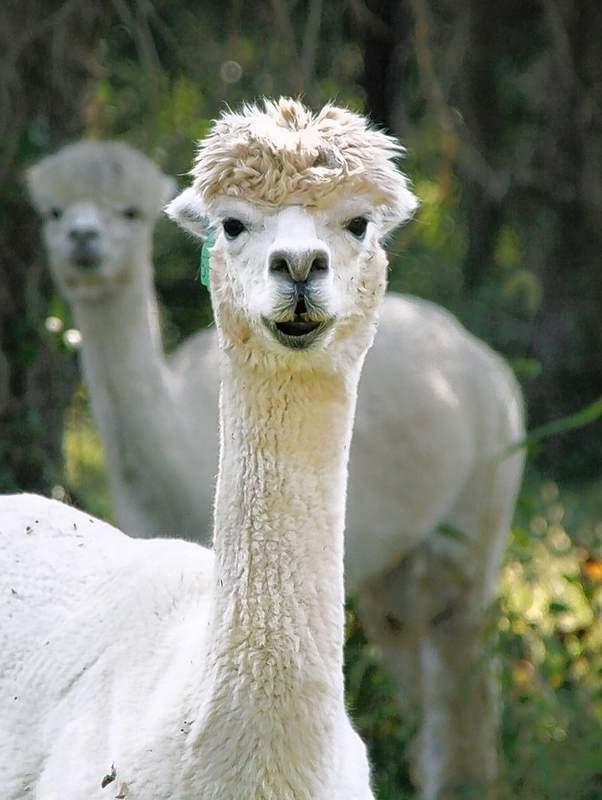 The alpacas at Rolling Oak Alpaca Farm are ready to say hi.
