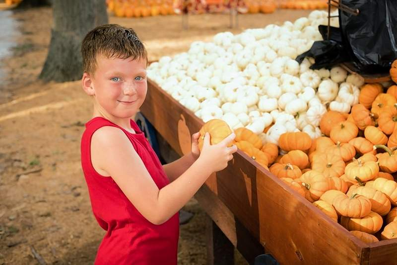 Coy Settle of Crab Orchard, picks his favorite little pumpkins for him and his siblings at Bandy's Pumpkin Patch on Opening Day Saturday.